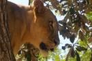 Senegal - Dakar, Circuit Lion de Fathala         3*
